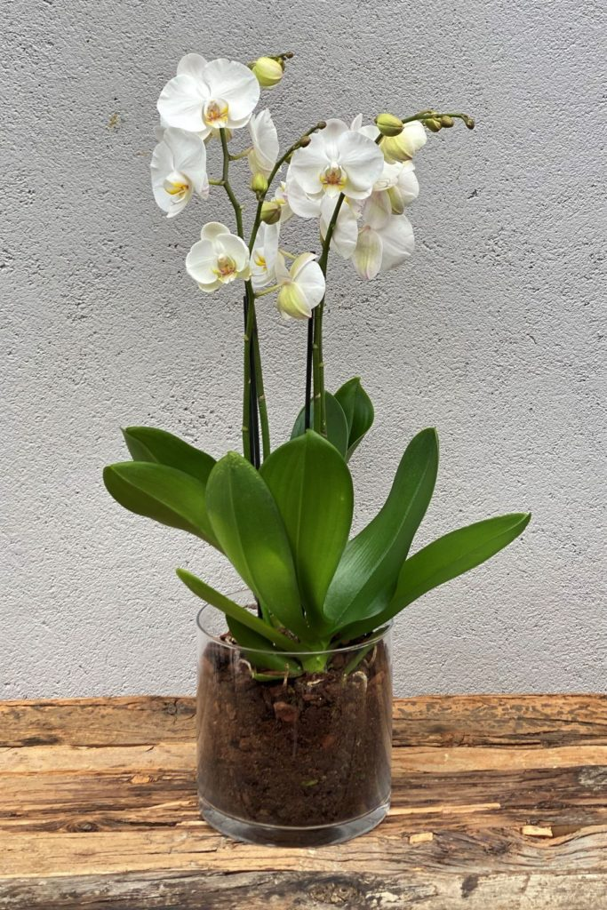 2Hvit Phalaenopsis orkide i glassvase1
