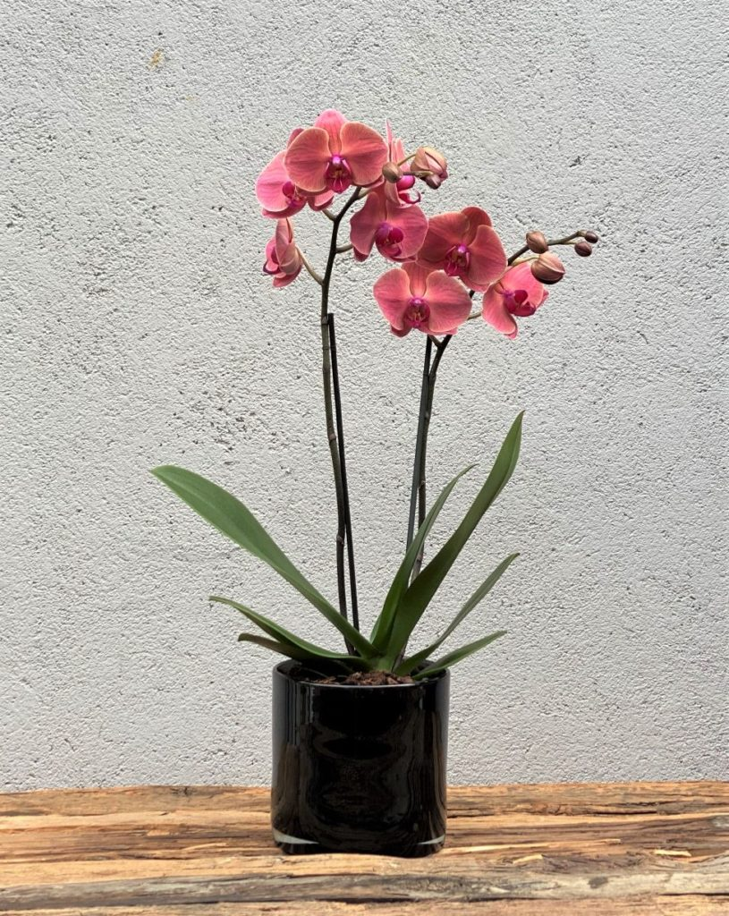Farget Phalaenopsis orkide1