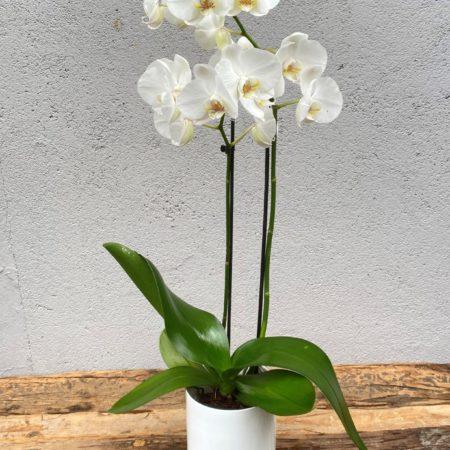 Hvit Phalaenopsis orkide2