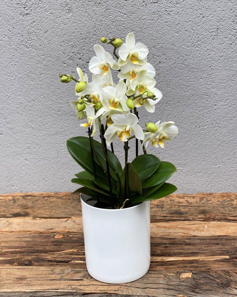 Multiflora orkid1