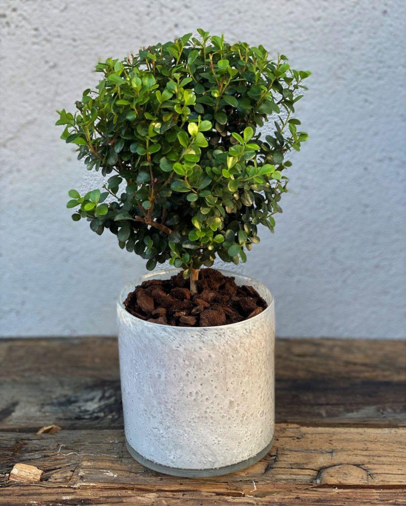 Myrsine Planter